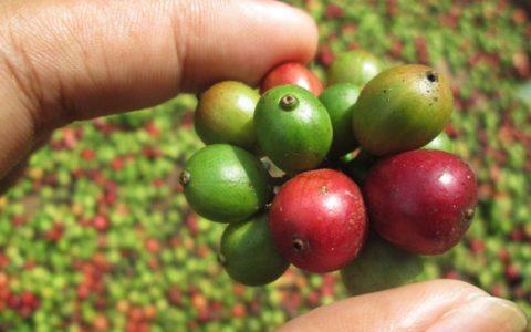 coffee-bean-507411_960_720[1]
